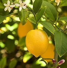 1 Dwarf Meyer Lemon Tree Starter Plant, Dwarf Indoor Citrus Tree Tasty Lemons
