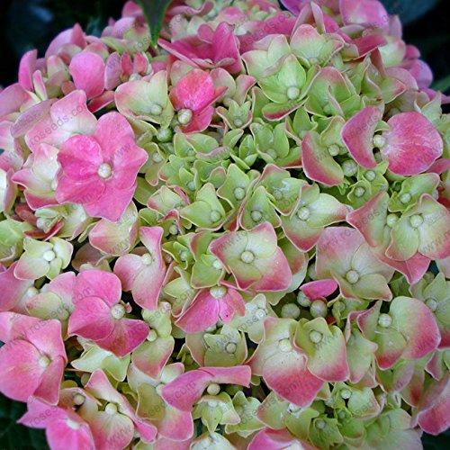 Hydrangea graines de fleurs, bonsaïs en pot balcon hydrangea 24 couleurs au choix, la gamme complète de 10 graines / paquet
