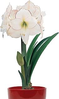 Best picotee amaryllis bulb Reviews