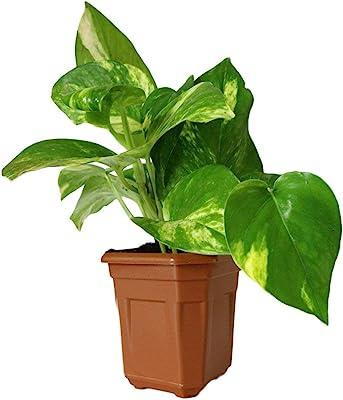 PlantaZee Good Luck Money Plant in Brown Hexa Pot