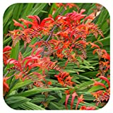 Crocosmia 'Lucifer' montbretia Bulbs x 25 Bright Red Summer Flowering by Growtanical®