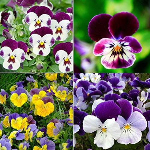 AIMADO Samen-100 Pcs Wildes Stiefmütterchen Saatgut winterhart,mehrfarbigen Blüten, beliebtesten Blühpflanzen Blumensamen geeignet für Garten Balkon