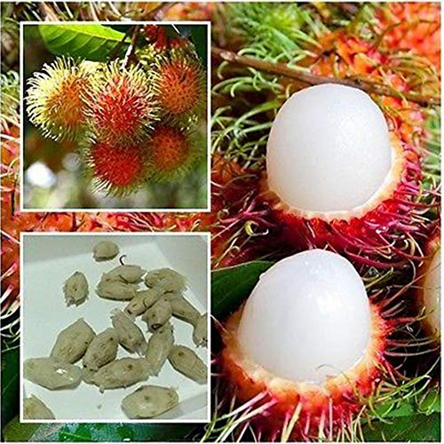 5 STÜCKE Thailand Rambutan Samen Tropische Frucht Litschi Pflanzen Outdoor Gemüse Obst Zier Hausgarten Bäume Kinder Samen