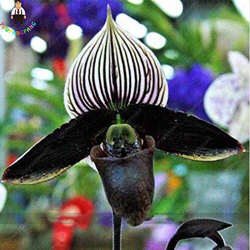 100pcs 20 types d'orchidées Graines vivaces Fleurs Plantes ornementales en pot Bansai Semences pour balcon et cour plante jardin vert Diy