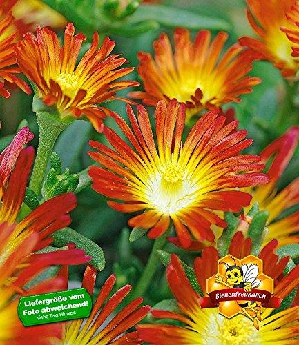 "BALDUR-Garten Winterharte Eisblume\""Fire Wonder\"", 3 Pflanzen, Delosperma congesta Steingarten"