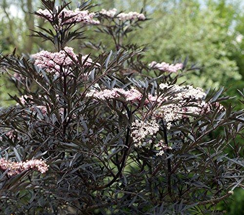 Schwarzer Holunder 10 Samen, Sambucus nigra