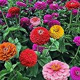 100 pz/pacco semi di fiori bianco dah lia semi bellissimi fiori perenni semi dah lia per giardino domestico fai da te & (colore: casuale)