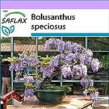 SAFLAX - Glycine arbre - 15 graines - Bolusanthus speciosus