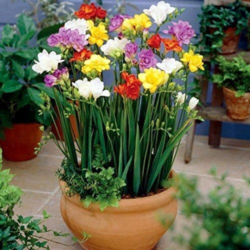 Wuwxiuzhzhuo, bulbi di fresia perenne, profumati, per interni, giardini, bonsai, ecc., 100 pezzi 1