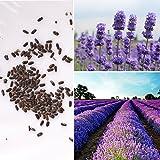 Rosepoem 200pcs semillas de lavanda lavandula officinalis planta floral hierba orgánica de semillas