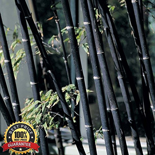 100 graines de Hot frais bambou noir Phyllostachys Nigra
