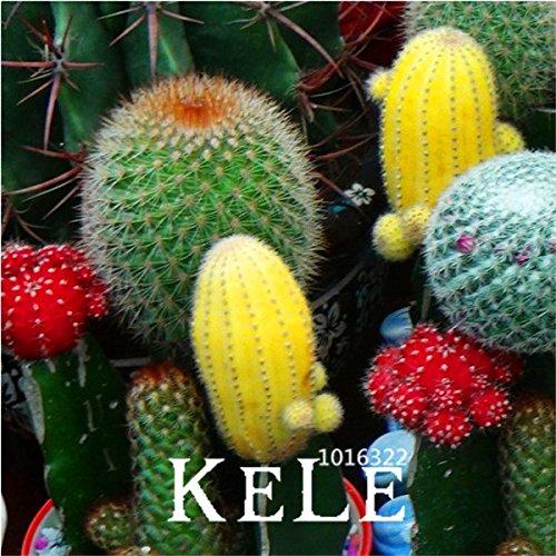 pots 50pcs Jardinières Celestial Being graines Boule graines de cactus Fée Succulentes Graines, # Q3FTGN
