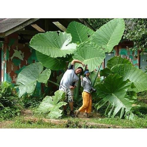 Amazon Com Tara Garden A Bulb Giant Elephant Ear Taro Bulb