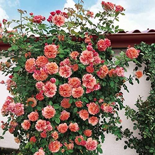 SummerRio Garten-50 Pcs Selten Ramblerrosen Samen Kletterrosen Saatgut Winterhart Mehrjährig Blumensamen für Wände, Rosenbögen, Pergola Zäunen, Gartenhäuschen und Bäumen (Typ-5)