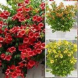 (Red/Orange/Yellow) Mix of Trumpet Vine Campsis Seeds jocad (25 Seeds)