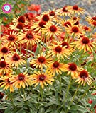 50Rare orange Echinacea Samen Mehrjährig Blumensamen Echinacea auffällig much-doubled Blütenköpfe Topfpflanzen für Garten Show In Picture 7