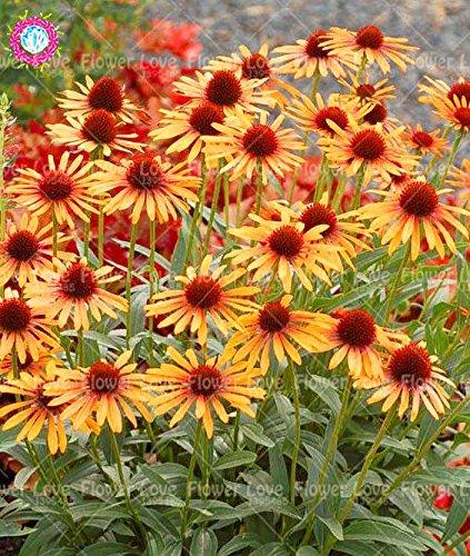 50 Stück seltene Orangen-Echinacea-Samen, mehrjährige Blumensamen, Kegelblume, Showy vielverdoppelte Blütenköpfe, Topfpflanze für Garten 7
