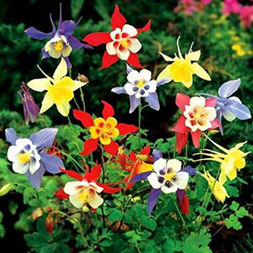 100 graines amarante ou anquilegya mix variée plante vivace BLEU ROSE ROUGE BLANC