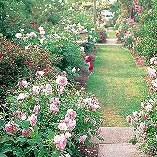 CER0T Egrow 200Pcs Garden Climbing Rose Seeds Balcony Drcoration Mix Colors Flower Seeds