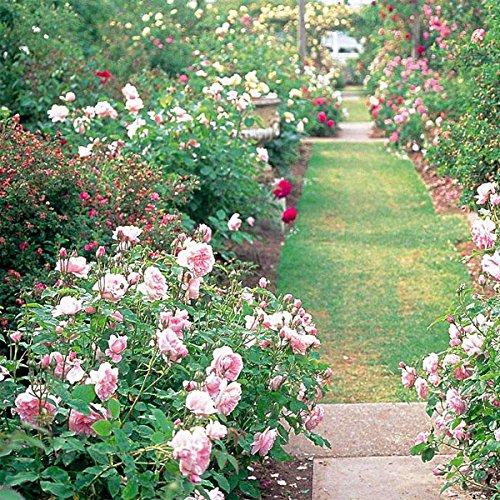 TENGGO Egrow 200Pcs Garten Klettern Rose Samen Balkon Drcoration Mix Farben Blumensamen