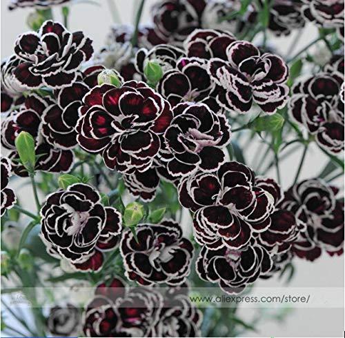 Bloom Green Co. Rare Hardy vivace Dianthus & # 39; Blackjack & # 39; Carnation Graines de fleurs, Paquet professionnel, 50 graines/Pack, New Modern Cut-fleur