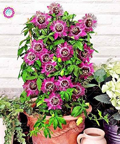 Shopmeeko 10 stücke Bonsai Passiflora blume pflanze Leidenschaft obst pflanze Nahrhafte Granadilla Garten Mehrjährige Immergrüne Kletterpflanze: 2