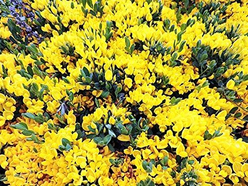 2 Stück Kissenginster (Cytisus decumbens) im Topf 20-30cm