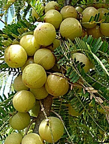 100 Phyllanthus emblica Samen, Amla Baum, Myrobalan, indische Stachelbeere, TCM Medizin