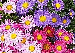 lila und rosa Asterblumen