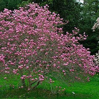 Amazoncom Magnolia Trees Plants Seeds Bulbs Patio Lawn