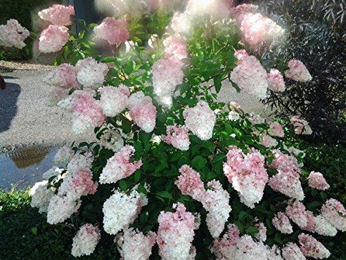 Rispenhortensie Pinky Winky®, Hydrangea, 60-80cm im Topf