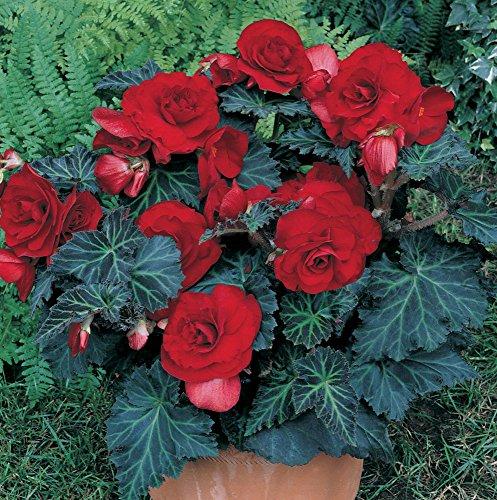 Van Zyverden Bronze Leaf Specialty Begonias Bulbs (Set of 5), Dark Red