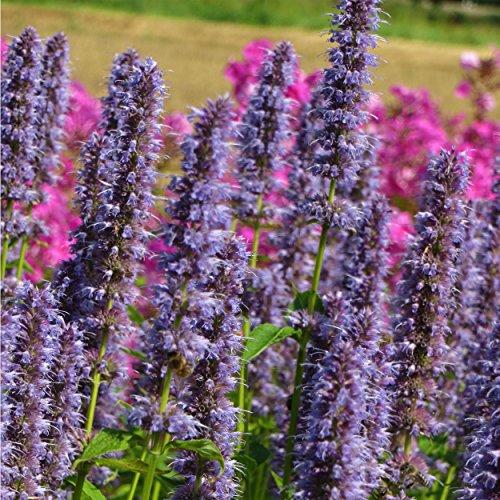Blumixx Stauden Agastache Rugosa-Hybr. 'Blue Fortune' - Duftnessel, Blaunessel, im 1,0 Liter Topf, violett blühend