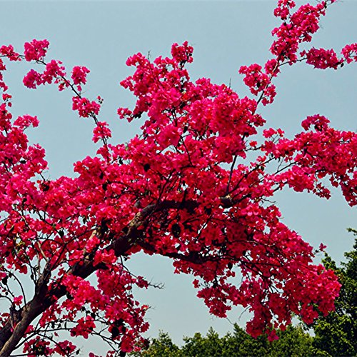 potato001 20 rot Bougainvillea Flower Samen Ornament Plant Garden Yard Dekoration Red Bougainvillea Seeds rot