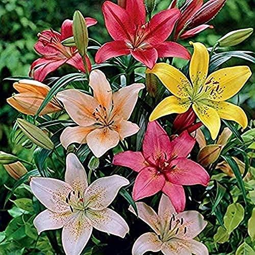 3 Asiatische Lilie Zwiebeln-bunte Gemischte Blume Zwiebel Mehrjährige Erbstück Blumen Haben Ein Perfektes Aussehen Gartenterrasse Innenhof Vollständiger Visueller Genuss Effizientes Pflanzen