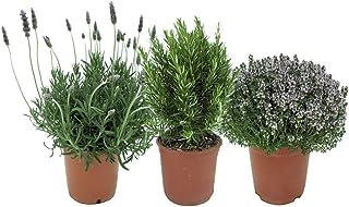 Pack de 3 Plantas Aromáticas para Cocinar: Lavanda + Romero + Tomillo Plantas Naturales de Interior y Exterior