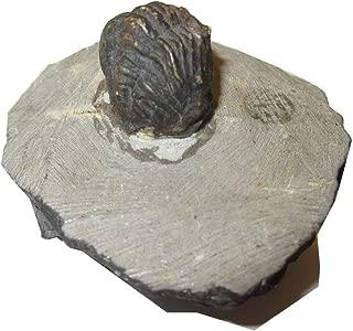Best trilobite sculpture Reviews