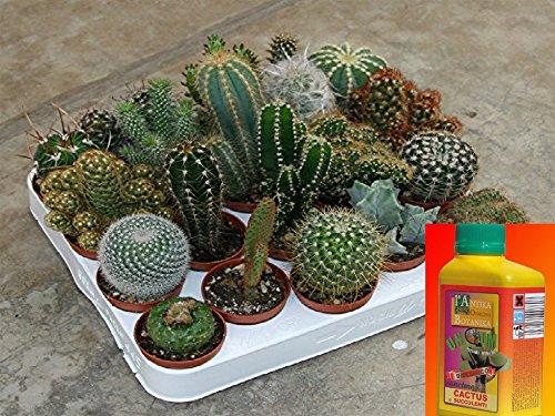 piante grasse vere miste cactus e Succulente,COMUNI E NON COMUNI, 20 PZ + 1 concime piante grasse ml 500 Mondonatura srl