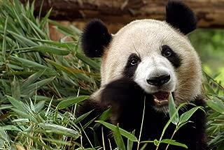 Cute Panda (N10) - Animal Picture Art Print Canvas Poster(16x24inch)