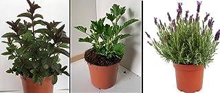 Hierbabuena (2) - Planta Antimosquitos (2) - Lavanda (2) - Pack 6 PLANTAS 13 cmø - Planta Natural - Vipar Garden 39