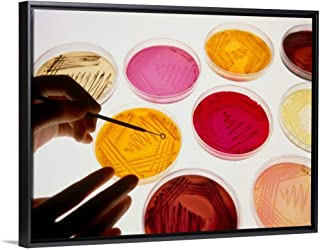 Petri Dish Bacterial Cultures, Picking a Colony Black Floating Frame Canvas Art, 18