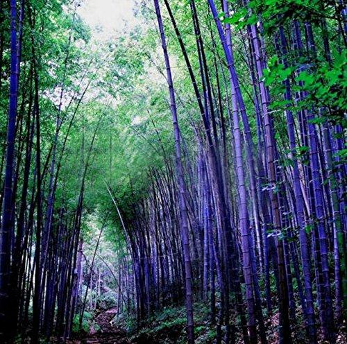 D'énormes 80 graines/paquet pubescens géant Phyllostachys Moso graines de bambou rustiques -Giant 2