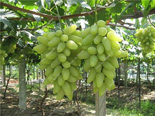 Pépins de raisin Gold Finger vigne vivaces herbes plantes succulentes, Juicy Fruit non-OGM légumes semences fournitures de jardinage 50 Pcs 14