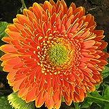 Fuduoduo Semillas De Hortalizas para Interiores,Semillas de crisantemo Africano fáciles de Vivir-J_1000PCS,Flores Paisaje para Cercas
