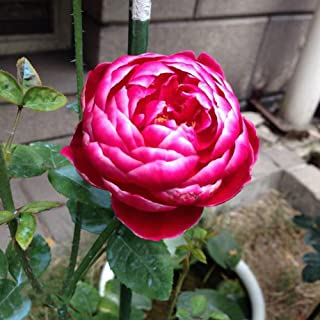 Flower Seeds for Planting Easy to Grow Plant Seeds Rose Seeds Outdoor and Indoor Garden Seeds, 50 Seeds (Mary)