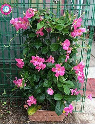 100pcs / sac d'escalade graines Mandevilla Sanderi, graines de DIPLADENIA, Bonsai Fleur des plantes pour la décoration maison et pot mur de la cour 3