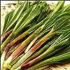 北海道産 山菜 天然 行者にんにく(1kg入り) 行者ニンニク キトビロ 北海道 お取り寄せ