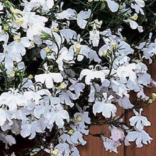 Lobelia Seeds 50 graines multi pastillées Regatta situés à droite Lobelia