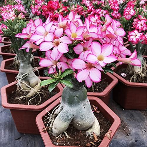 Rizomi Di Rosa Del Deserto, Fiori a Bulbo Resistenti E Forti Bulbi Perenni in Giardino Bulbi Splendidi E Belli Di Piante Speciali./ Giardinaggio /-2-rizoma,Rosa