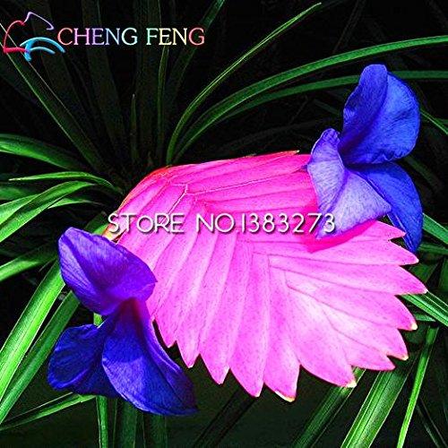 Vente 50pcs Hot Tillandsia Cyanea Graines Graines de fleurs en pot Chinese Purple Rare Décoration Bonsai Pour Maison & Jardin